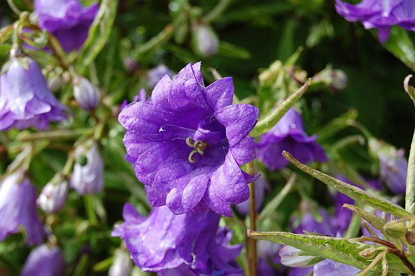 Image result for Campanula Trachelium Bernice pic