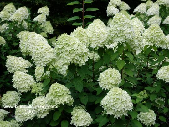 hydrangea paniculata limelight cc plants. Black Bedroom Furniture Sets. Home Design Ideas