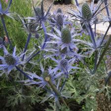 IMG_0284.jpgEryngium Big Blue