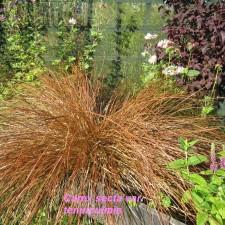 IMG_0488 Carex secta var. tenuiculmis