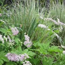 Chaennorhinum hirsutum Roseum & Clamagrostis Overdam