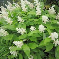 Smilacena Racemosa