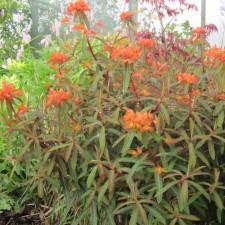 IMG_1121.jpg Euphorbia