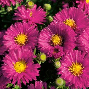 Aster 'Autumn Jewels Granat'