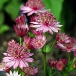 Astrantia major 'Rose Symphony'