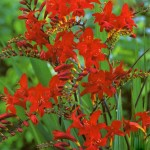 crocosmia-lucifer_1