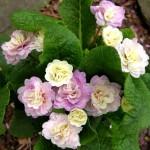 dscn9694.jpg Primula belarina Pink Ice