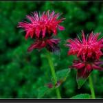 20070627-1393-Bee-Balm-(Monarda)-'Fireball'