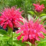 2377_3.jpg Monarda Pink Supreme