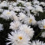I-Grande-16326-leucanthemum-aglaia-plant.net
