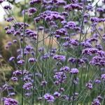 Verbena-bonariensis-Flowerona-1