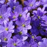 download.jpg Hepatica nobilis