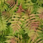 sorbariaSorbifoliaSemCU.jpgSorbaria sorbifloia sem