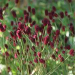 Sanguisorba off. TannaSA31077_big