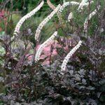 Actaea-blackneglisheelge